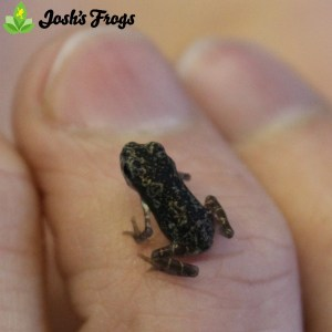 yellow spotted climbing toad pedostibes hosii for sale captive bred josh's frogs toadlet baby toad on finger