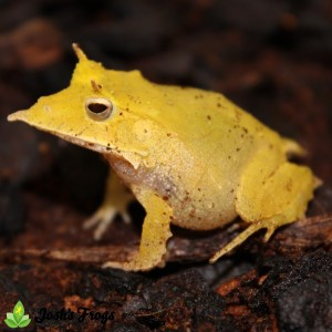 solomon island leaf frog for sale josh's frogs bright yellow side
