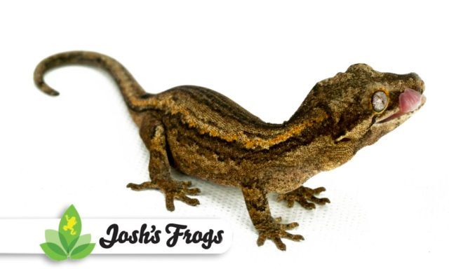 Gargoyle Gecko Care Sheet Josh S Frogs How To Guides