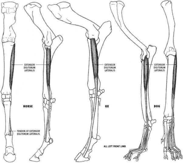 animal muscle anatomy