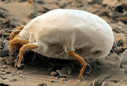 Dust mite allergy closeup