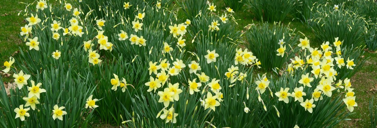 About Those Daffodils