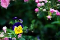 Blomst august