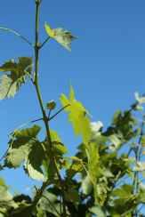 viiniköynnöksiä