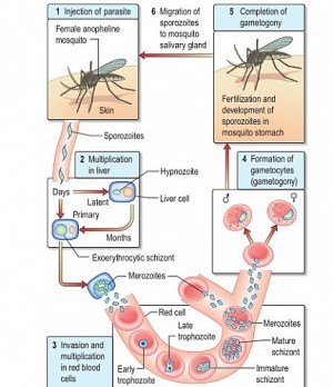Malaria Life Cycle: Simple and Easy Life cycle of