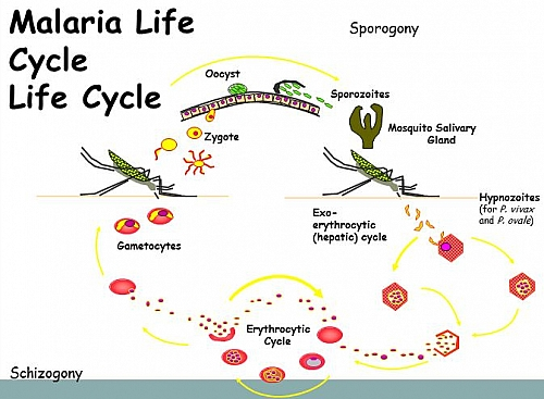 Malaria Life Cycle  Simple And Easy Life Cycle Of