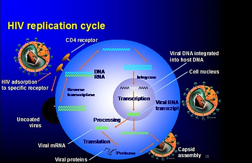 what does a cell diagram look like garmin usb power cable wiring hiv virus replication cycle: 7 stages of life cycle with picture