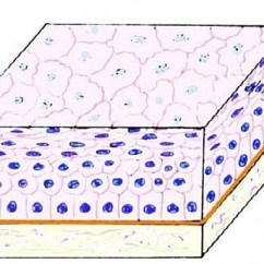 Stratified Columnar Epithelium Diagram Onan Generator Marine Squamous Function Structure Location And Slide Diagrams