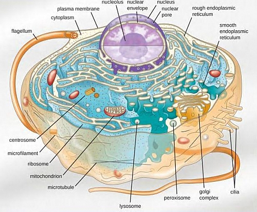 parts of a cell diagram 1996 nissan maxima wiring animal structure model and organelles with their functions