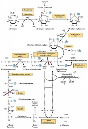 Glycolysis Pathway, Glycolysis Definition,Glycolysis Steps, Cycle and Diagram