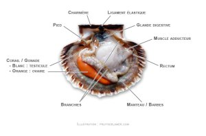 anatomie-coquille-saint-jacques