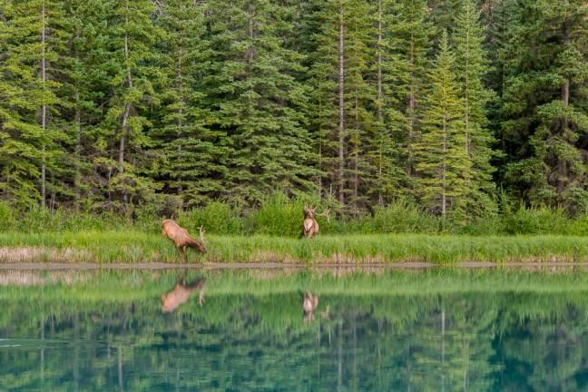 Banff Canada_Elk