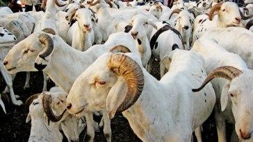 moutons de Tabaski