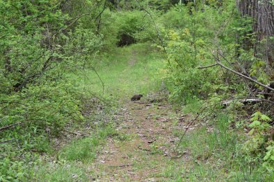 Baby groundhogs playing on the trail