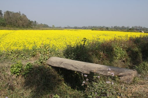 Fields of yellow flowers at Chitwan National Park