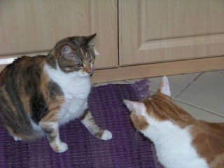 photo of cats Milshean and Nick facing off