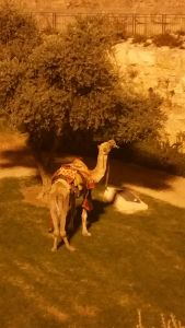 A camel right outside Old City Jerusalem