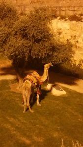 A camel right outside Old City Jerusalem