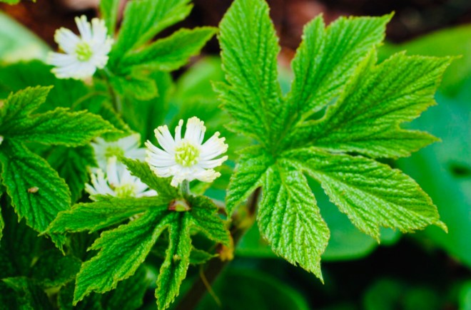 Goldenseal Health Benefits