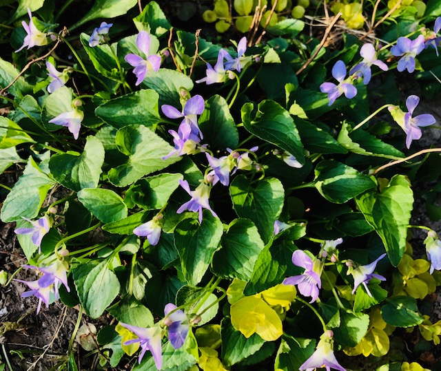 Sweet Violet Tea Benefits