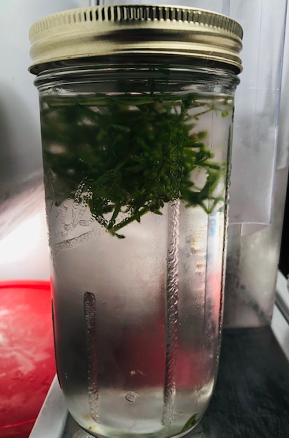 Cleavers Cold Water Infusion