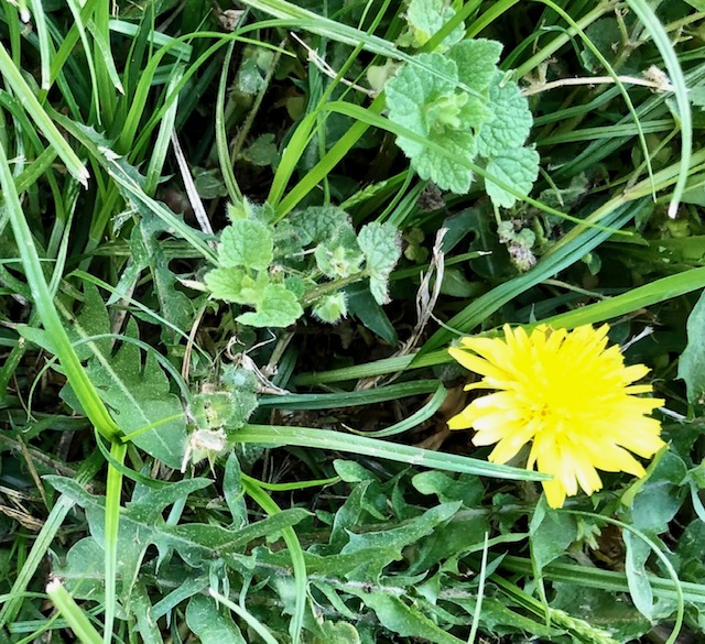 Health Benefits of Silica Dandelion