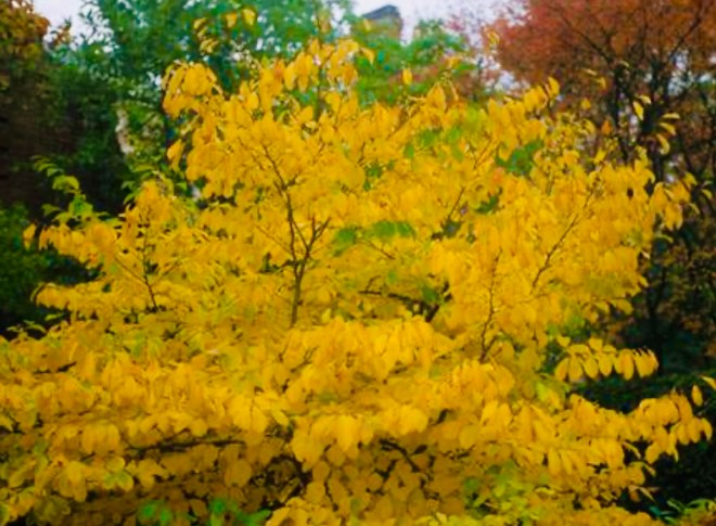 12 Amazing Uses for Witch Hazel shrub