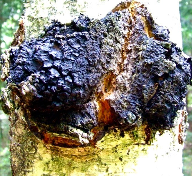 Seven Superfood Mushrooms chaga
