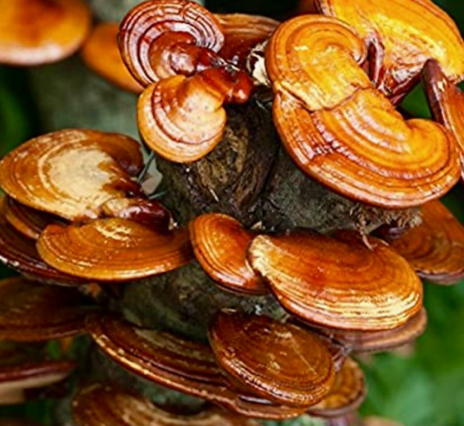 Seven Superfood Mushrooms reishi