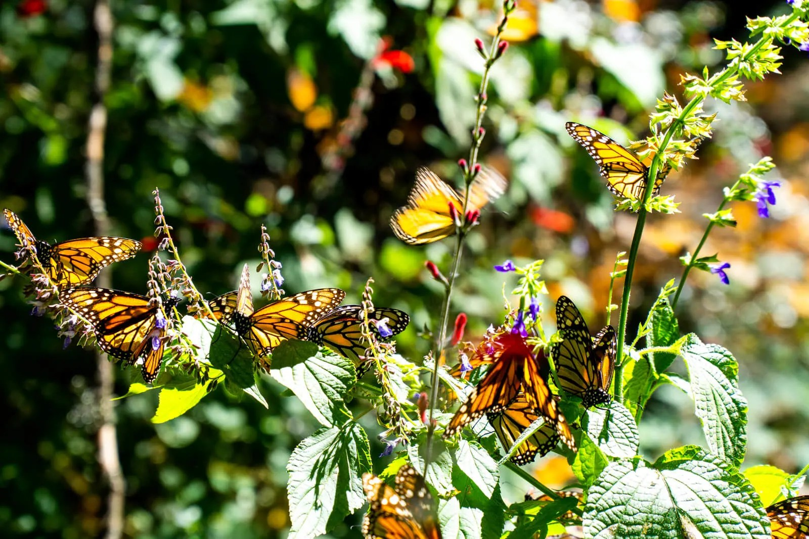 Where To See The Monarch Butterfly Migration In Mexico