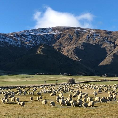 sheep island