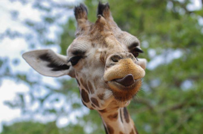 a giraffe close up looks at the camera