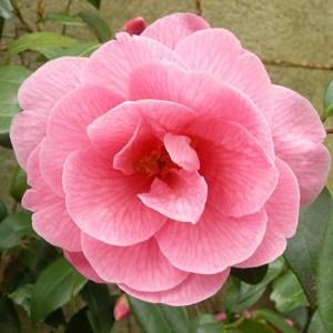 Camellia DSCN2257