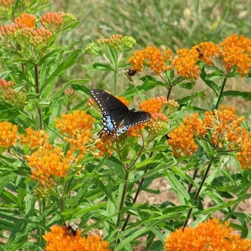 Butterfly Weed Plants - Milkweed for Monarchs