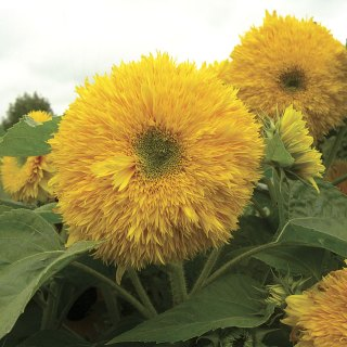 Zoom View for Superted Hybrid Sunflower Seeds