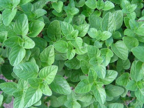 Oregano Herb Essential Oil