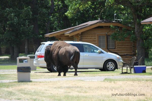 #buffalo crossing