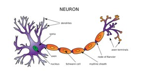 Web Art Design NEURON DIAGRAM NEURONE STRUCTURE médecine 20