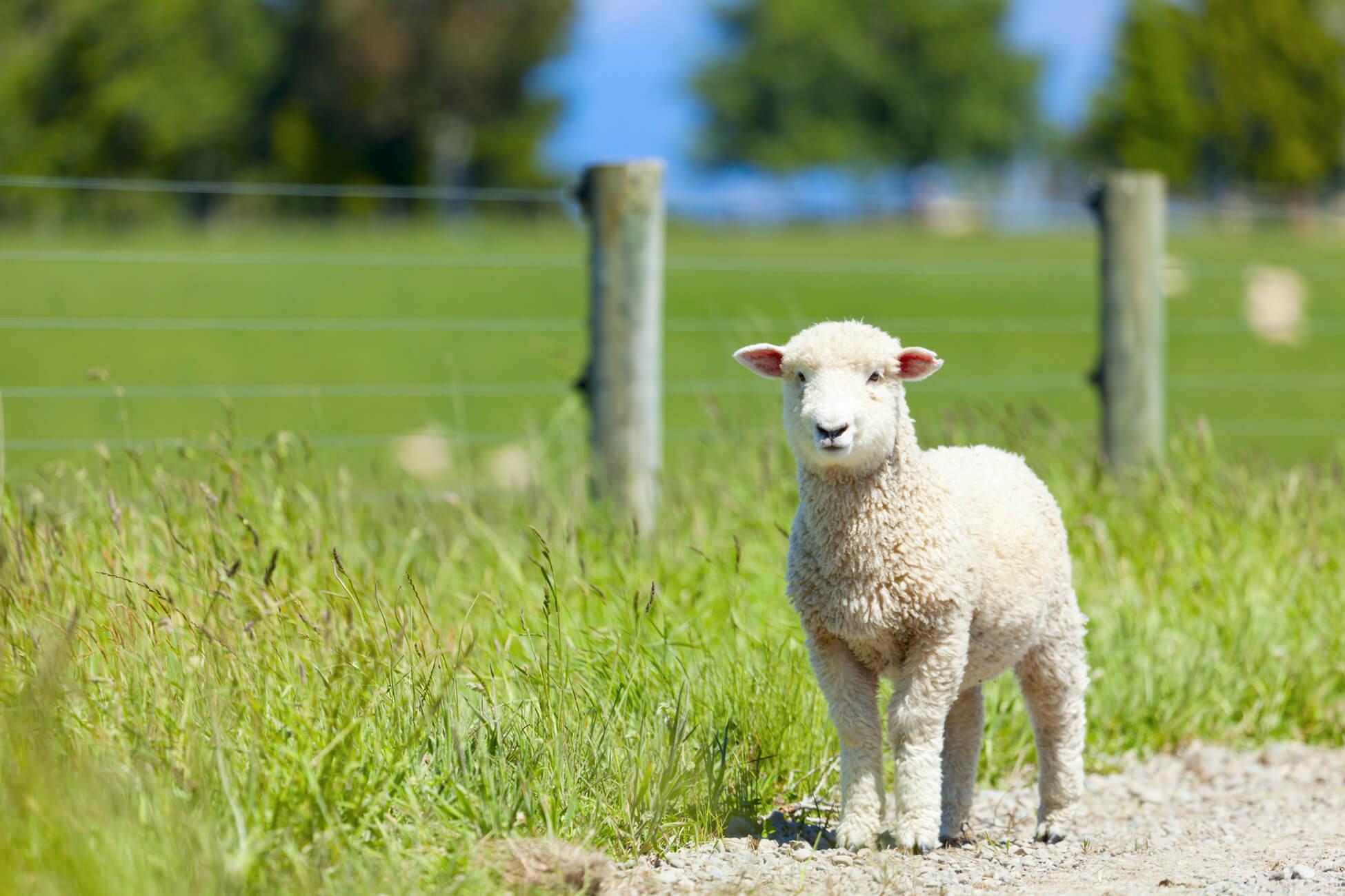 Lamb Vs Sheep