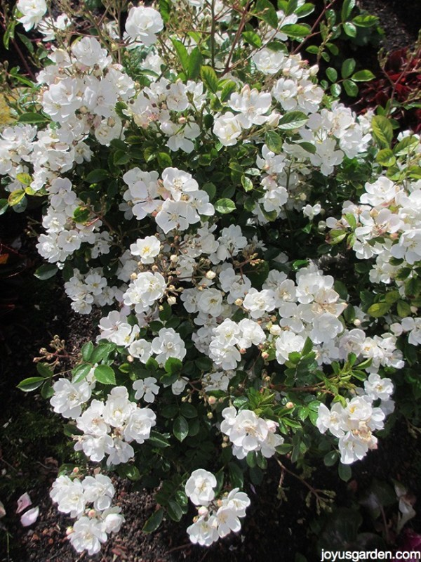 See How Easy It Is To Prune Miniature Roses