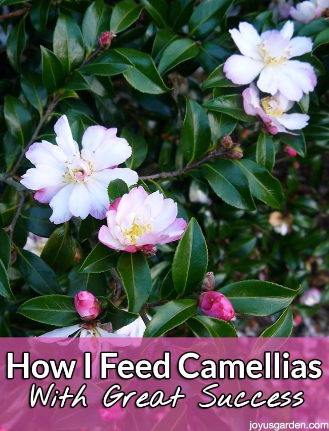 how to feed camellias