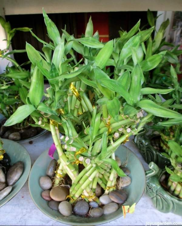 lucky bamboo care tips houseplant