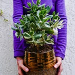Repotting Jade Plants How To Do It Soil The Mix To Use