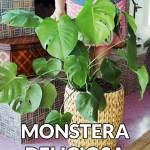 Repotting Monstera Deliciosa Plus The Mix To Use Joy Us Garden