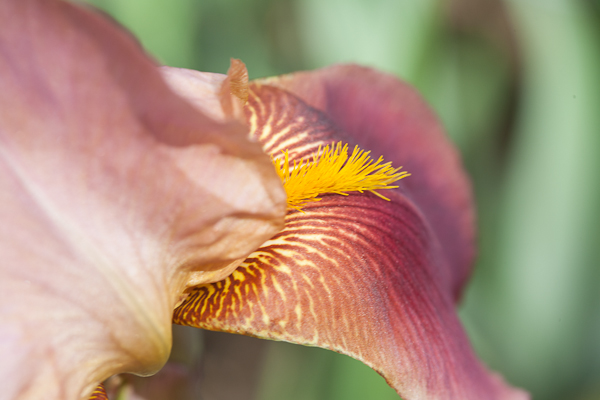 photo of Rosy Wings Iris