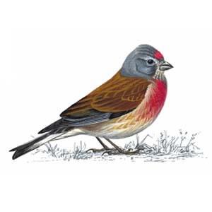illustration of male linnet
