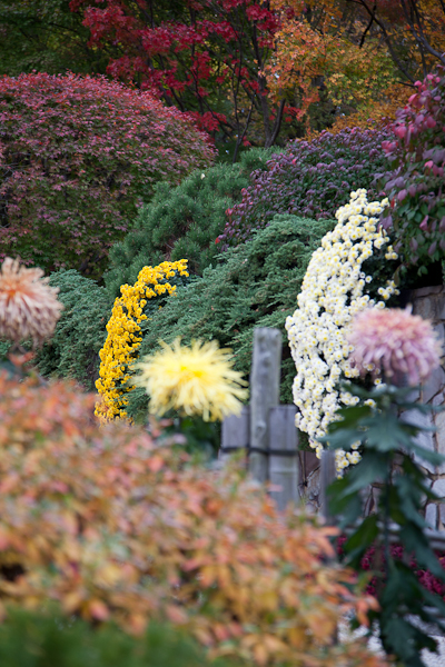 Chrysanthemums, Missouri Botanical Garden