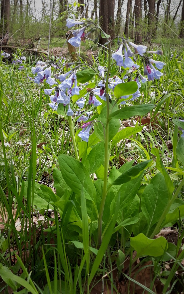 Bluebell at Shaw Nature Reserve