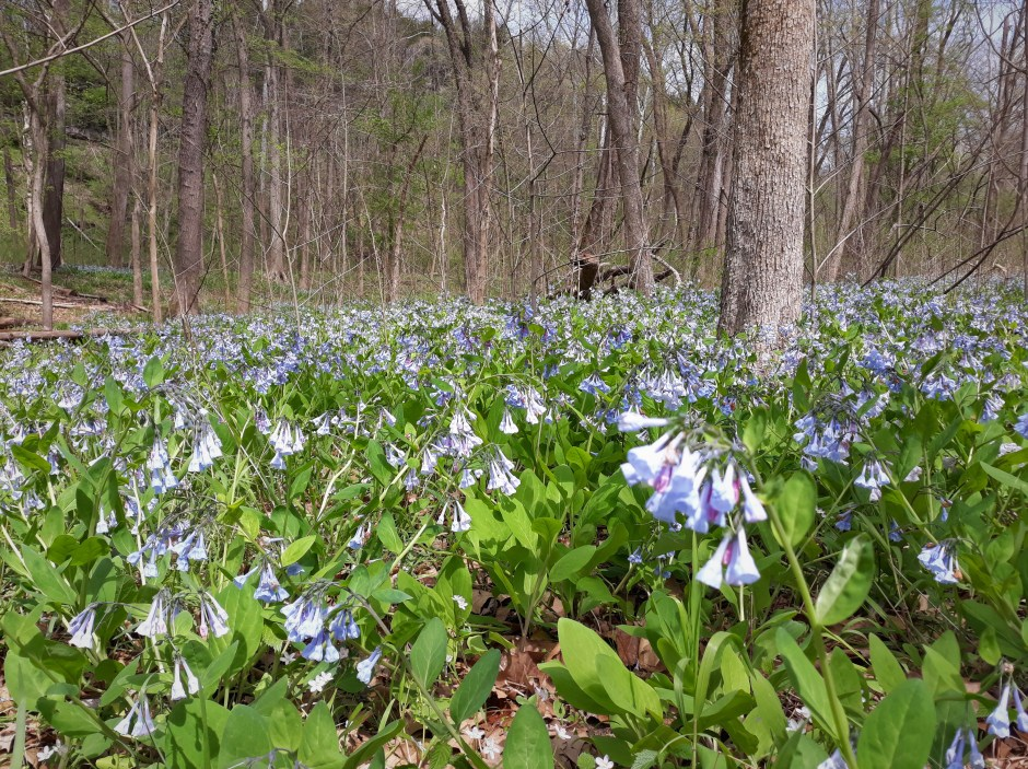 Carpet of bluebells at Shaw Nature Reserve