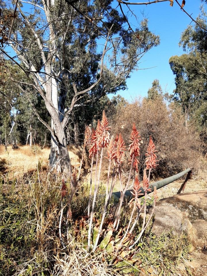 modderfontein nature reserve aloes